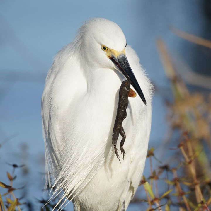 Snowy Egret With Lizzard Dinner