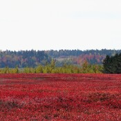 Blueberry fields and colorful trees