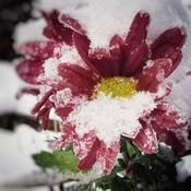 Perce neige ...