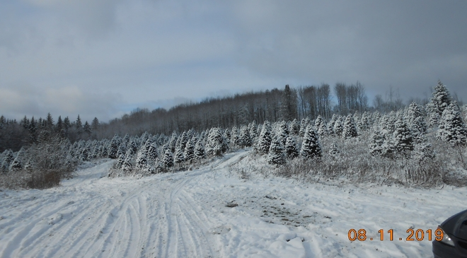 Is a very hard time for the Christmas trees growers, 360 Rang des Chutes, Ham-Nord, QC