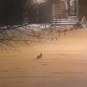 Les premières traces dans la neige pour notre lapin de quartier