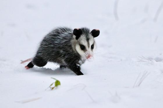 Opossum on a mission.