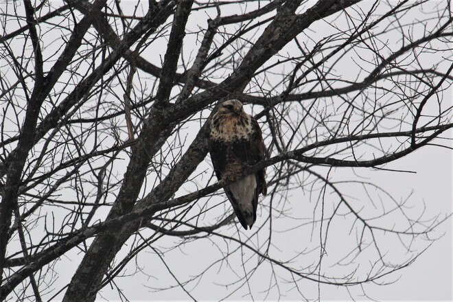 Rough Legged Hawk Cobden, ON