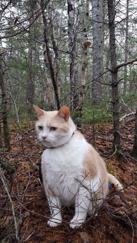 Cougar on front of his Chaga tree in 6 degree weather. Sydney, NS