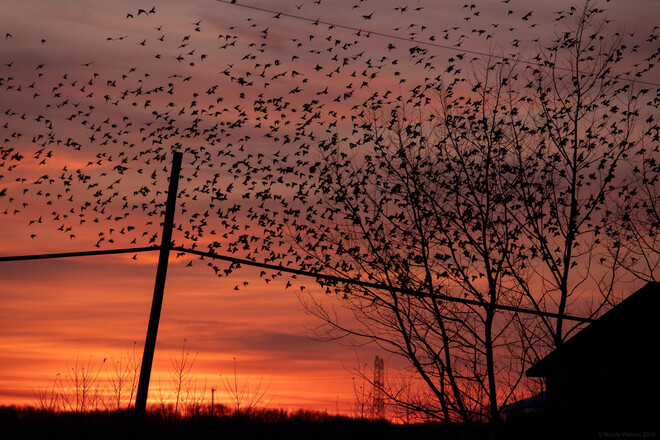 Sunset is for the birds! :) Napanee, ON