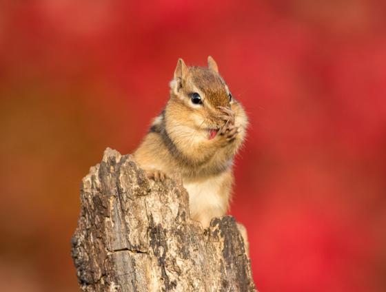 Chipmunk with Autumn Colour