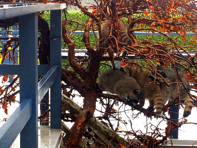 COUNT THE RACCOONS West Vancouver, BC