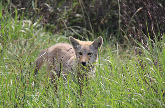 Coyote peers through the grass