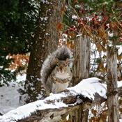 Un écureuil qui cherche sa pitance...