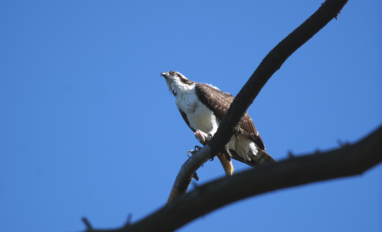Osprey checking out