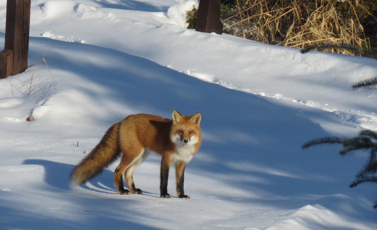 Fox in my yard