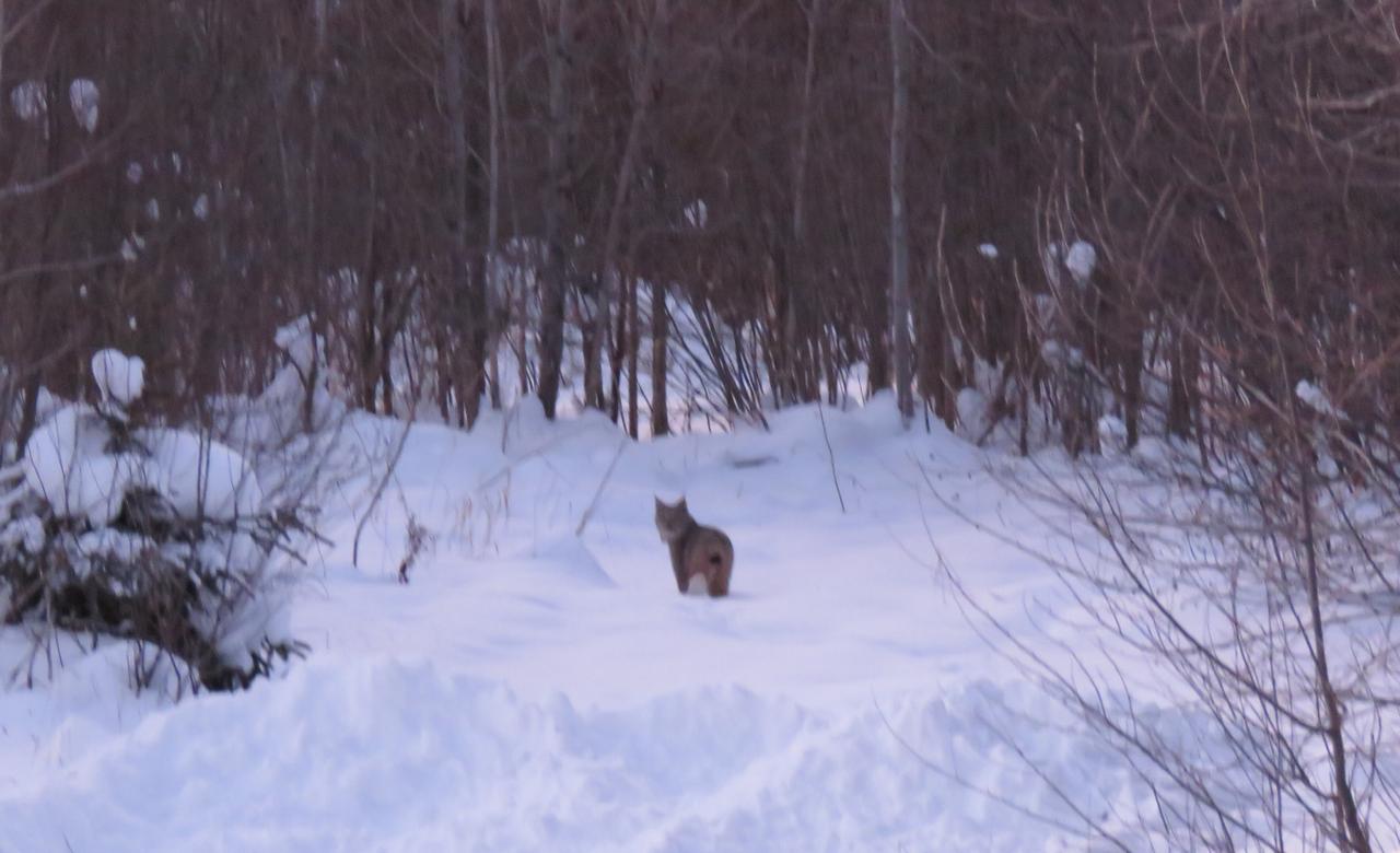 Lynx in my yard