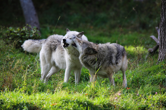 Playful Grey Wolves