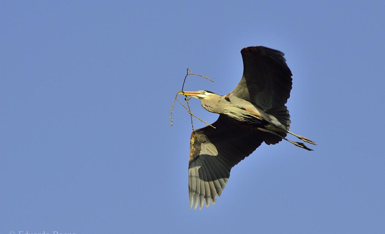 Blue Heron carrying sticks