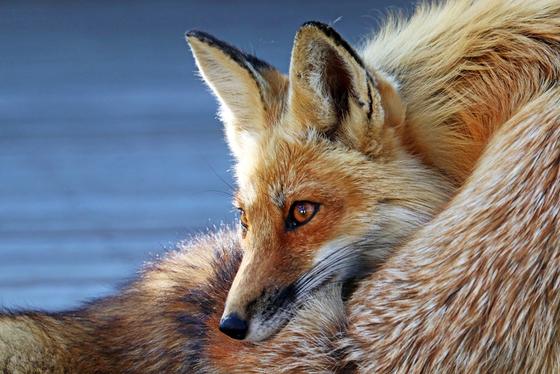 Comfy Fox