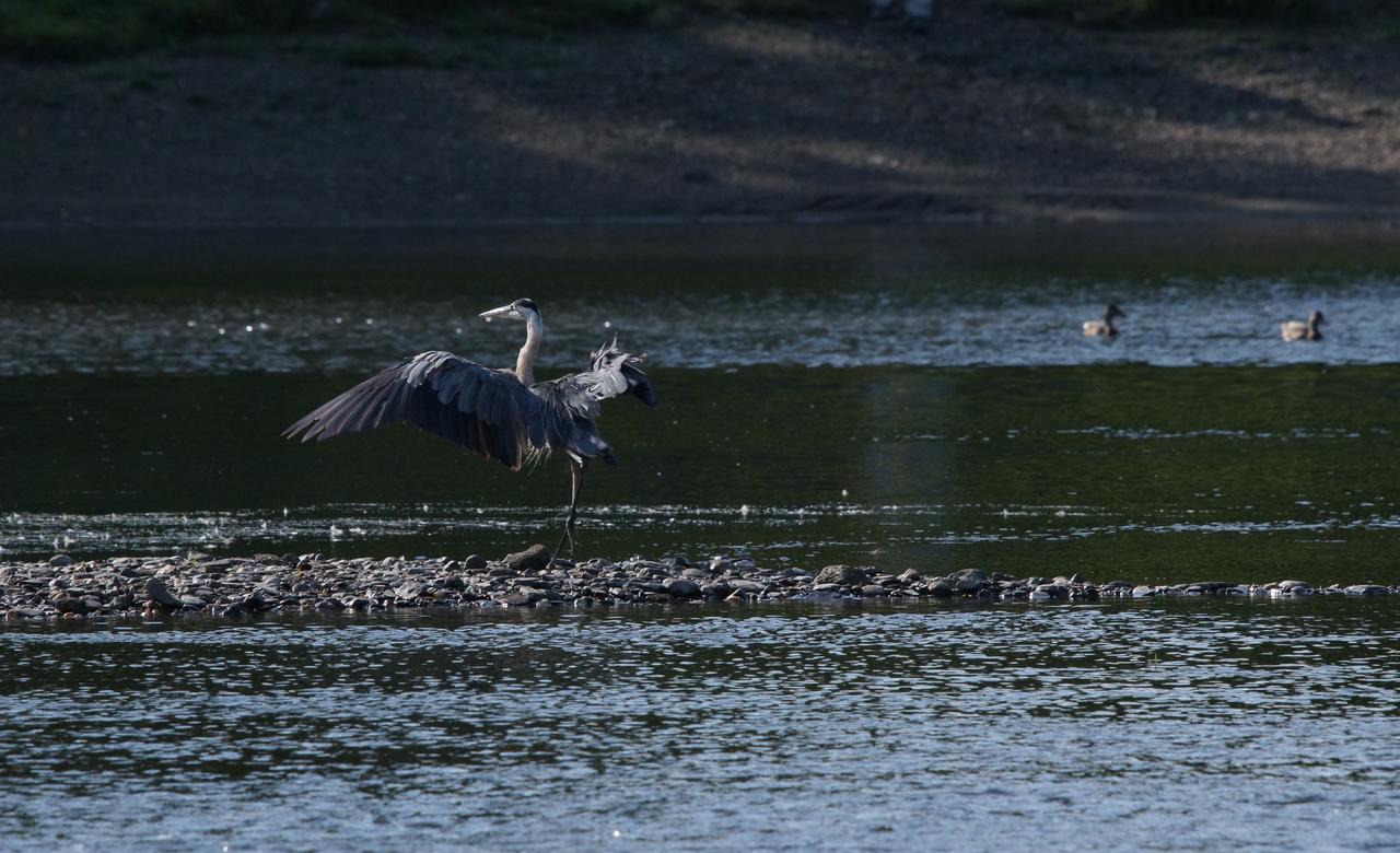 Great blue heron in a yoga attitude