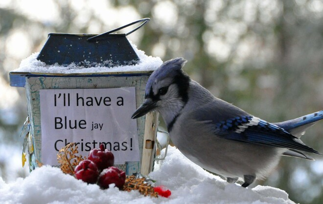 Blue Jay gets a treat. Cobourg, ON
