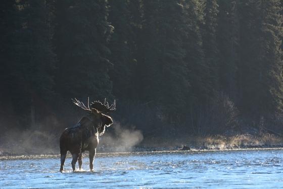 Frosty Moose