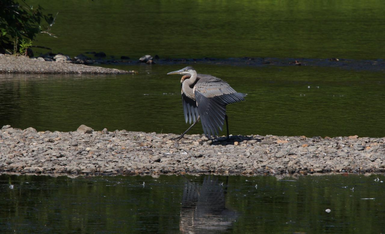 Great heron - territorial defense