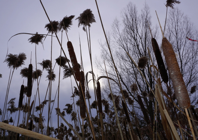 grasses in a december walk Orono, ON