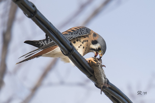 Kestrel with Mouse Techno Park, Quebec