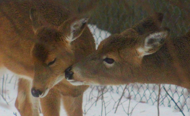momma deer with baby North Bay, ON