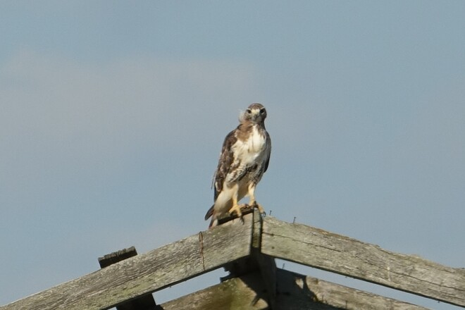 Juvenile Red Tailed Hawk on a dilapidated farm building West of Whitby along Lakeridge Rd. just North of Hwy #2