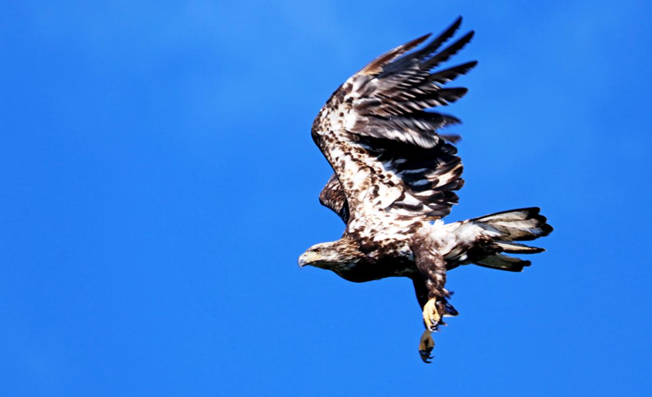 Juvenile Bald Eagle Take Off