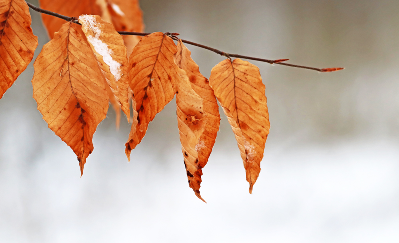 Snow Kissed Beech Leaves