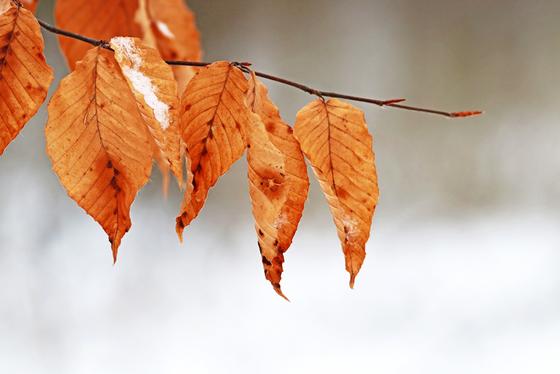 Snow Kissed Beech Leaves