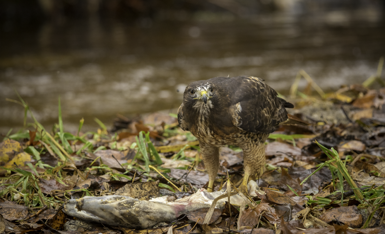 Red Tailed Hawk with a Fish