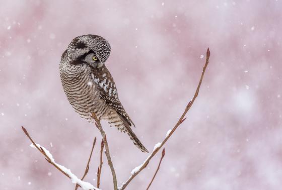 Northern Hawk Owl Hunting