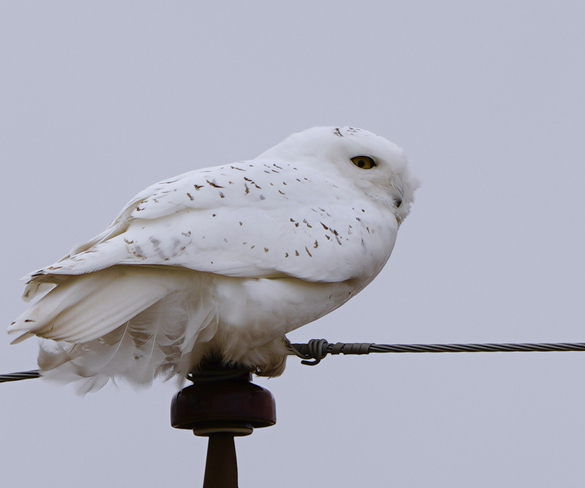 On the post-male snowy owl London, Ontario, CA
