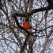 Un cardinal au loin!!!