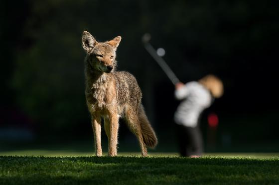 Coyote & Golfer