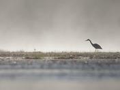 Misty Moring Heron