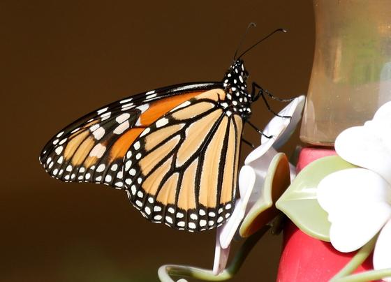 Monarch Butterfly at Hummingbird Feeder