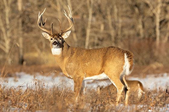 Fish Creek Buck