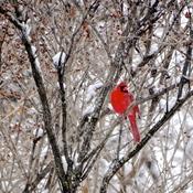 Cardinal mâle haut perché!
