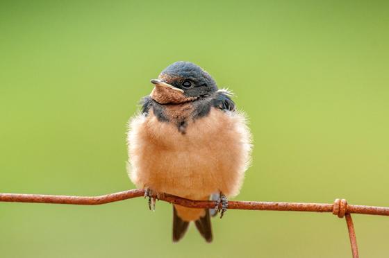 Baby Barn Swallow's Happy Canada Day!