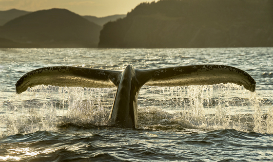 Humpback Whale tail At dusk