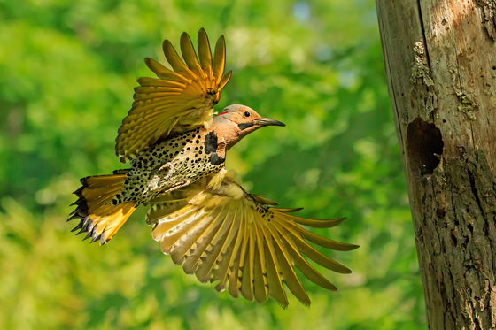 Male Northern flicker landing on its nest