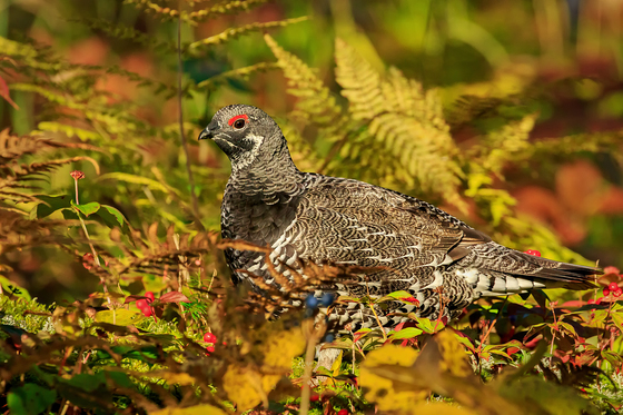 Male Spruce grouse in the Fall