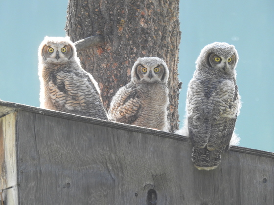 A Trio of Great Horned Owlets
