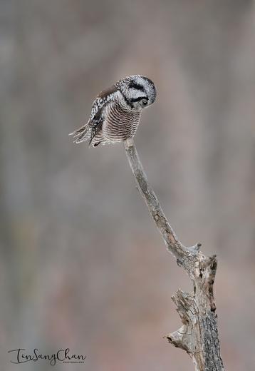 Northern Hawk owl Looking For Prey