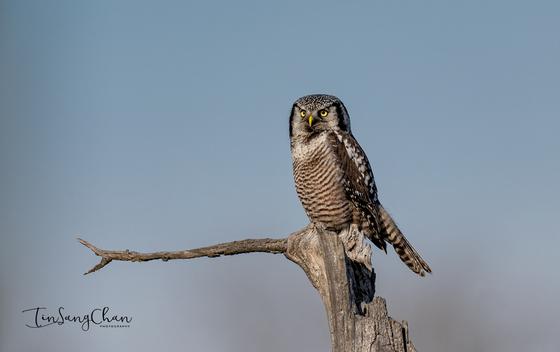 Northern Hawk owl Looking