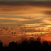 How many Canada Geese are in Durham Region [never mind the rest of the country!]