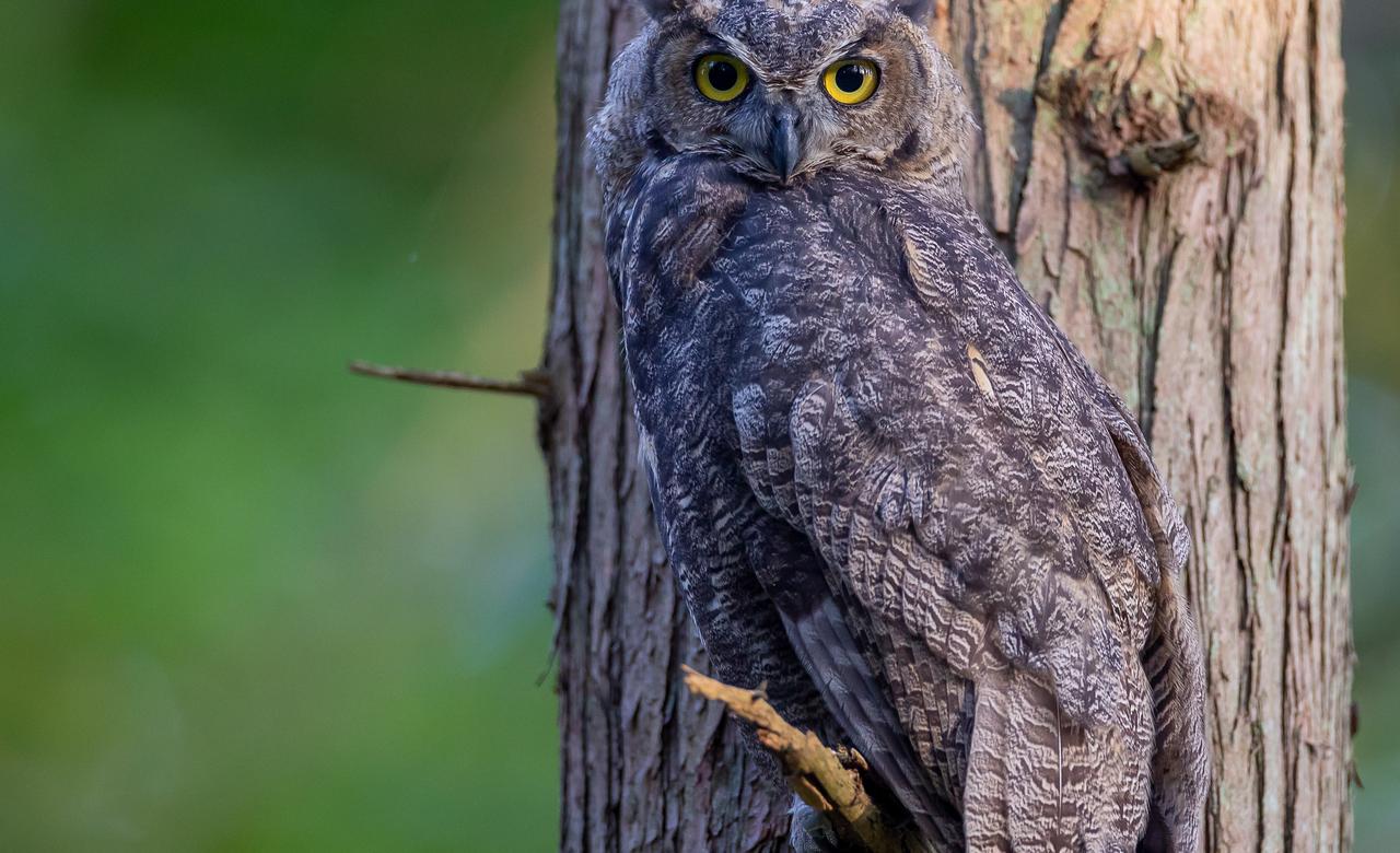 Owl at Dusk