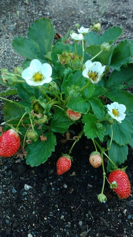 Love the strawberries growing season! Boston Bar, BC