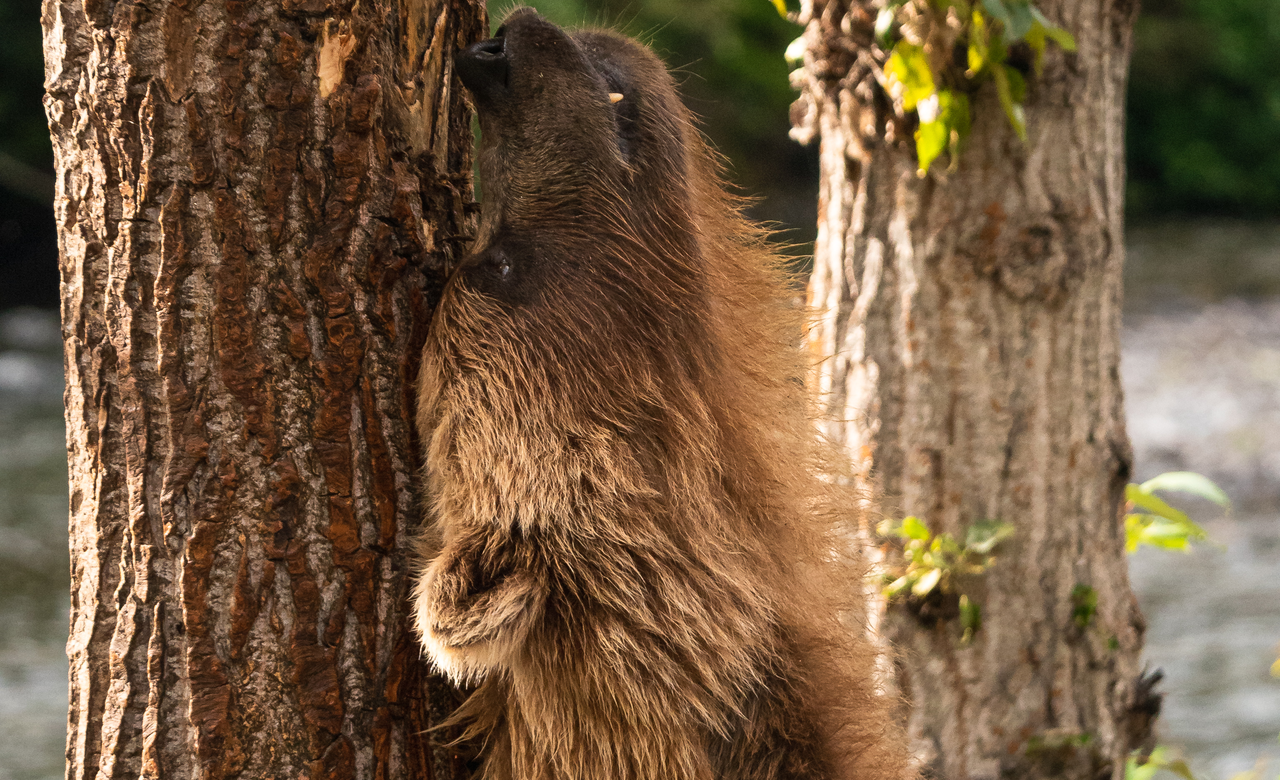 Bear Rub
